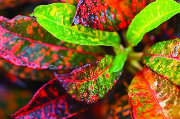 Croton  (Codiaeum, annual)