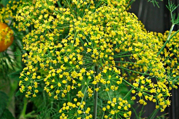dill best herbs to grow