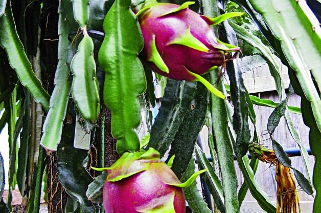 Top 10 Tropical Plants: Dragon Fruit