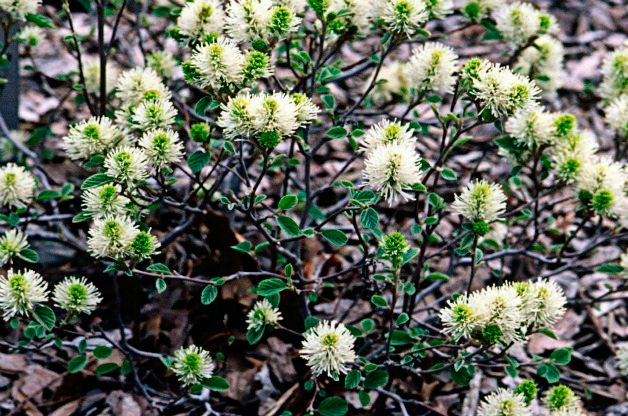 Top 10 Shrubs for Small Spaces: Dwarf fothergilla