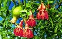 Top 10 Tropical Plants: Dwarf Pomegranate