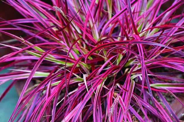 Top 10 Container Foliage Plants: Fountain Grass