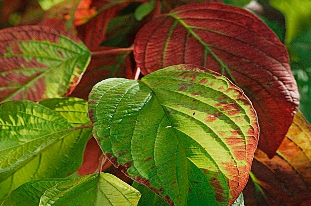 Top 10 Shrubs for Small Spaces: Garden Glow dogwood