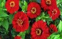 Top 10 Plants for Harvesting Seeds: Gift Zinnia