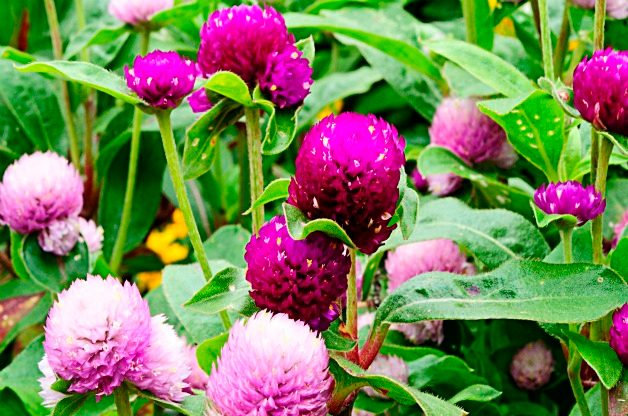 Top 10 Flowers for a Cutting Garden: Globe amaranth