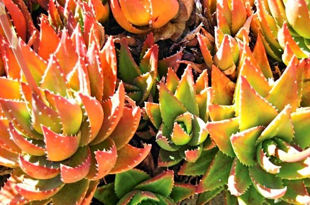 Top 10 Colorful Succulent Plants: Golden-toothed aloe
