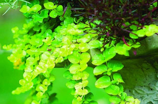 Top 10 Container Foliage Plants: Golden creeping Jenny