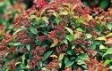 Top 10 Shrubs for Small Spaces: Goldflame spirea