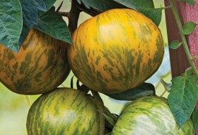 Top 10 Best Tomatoes to Grow