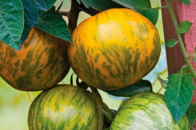 Top 10 Best Tomatoes to Grow: Green Zebra