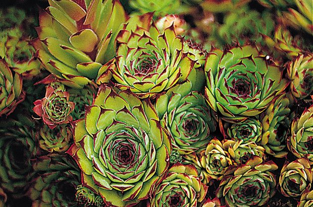 Hens And Chicks: Low Maintenance Perennial