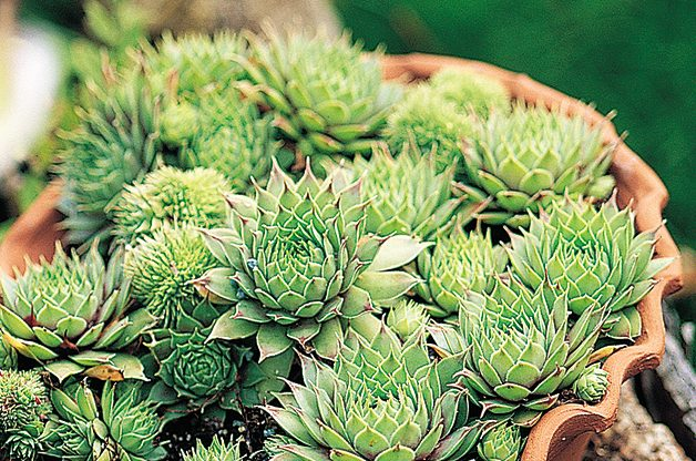 Top 10 Plants You Can't Kill:Hens and Chicks