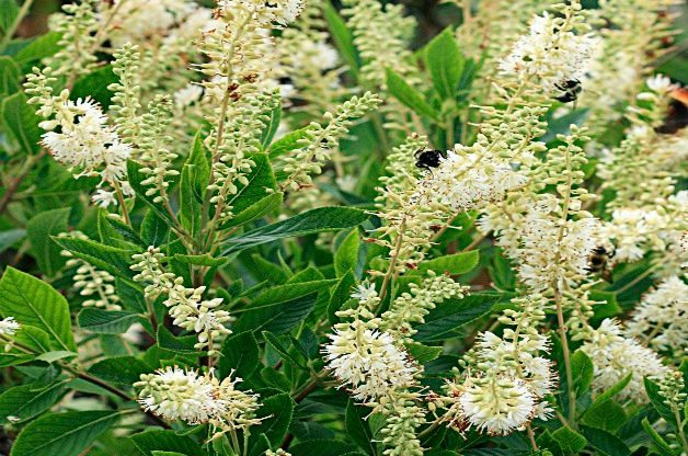 Top 10 Shrubs for Small Spaces: Hummingbird Summersweet clethra