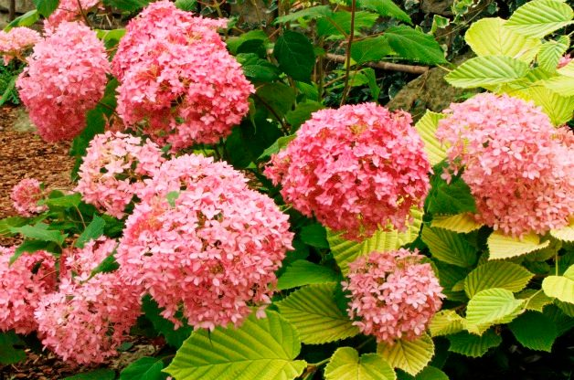 Top 10 Summer-blooming Shrubs: Hydrangea