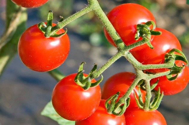 Top 10 Best Tomatoes to Grow: Jasper