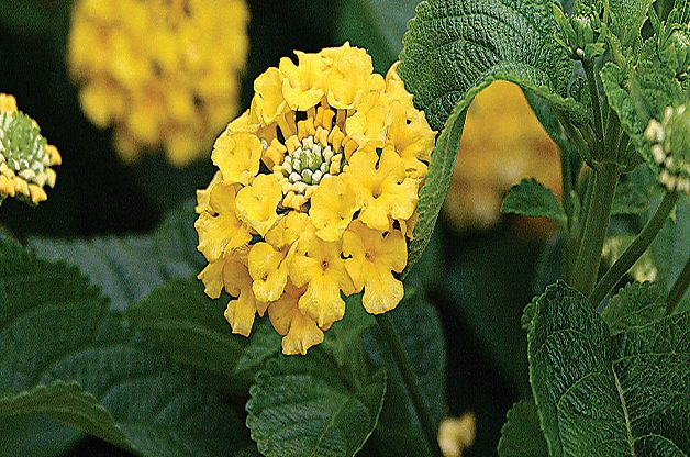 Lantana: Low Maintenance Perennial