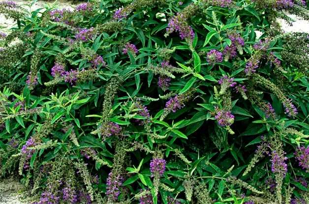 Top 10 Shrubs for Small Spaces: Lo and Behold butterfly bush