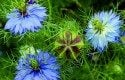 Top 10 Plants for Harvesting Seeds: Love-in-a-mist 'Oxford Blue'