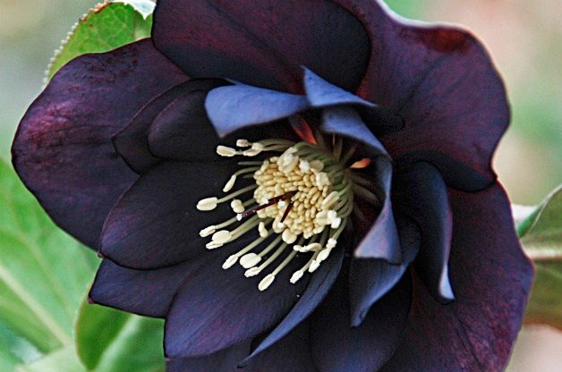Top 10 Black Plants: Midnight Ruffles hellebore