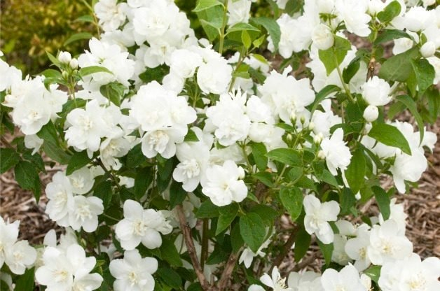 Top 10 summer blooming shrubs attract hummingbirds birds and blooms top 10 summer blooming shrubs mockorange mightylinksfo
