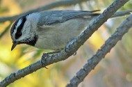 MtnChickadee-a1-Home-CCCOP.jpg