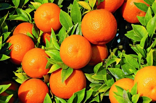 Top 10 Tropical Plants: Myrtle-leaf orange