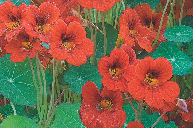 Top 10 Edible Flowering Plants: Nasturtium