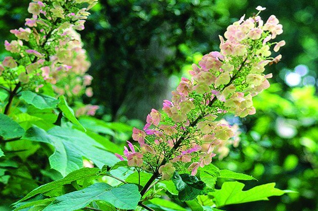 Top 10 Shrubs for Shade: Oakleaf Hydrangea