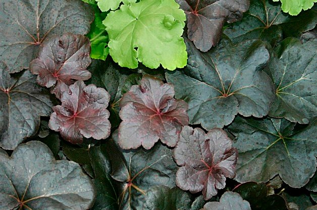 Top 10 Black Plants: Obsidian coral bells