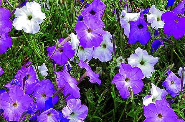 Top 10 Plants for Harvesting Seeds: Old-fashioned Vining Petunia