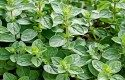 Top 10 Herbs to Grow: Oregano