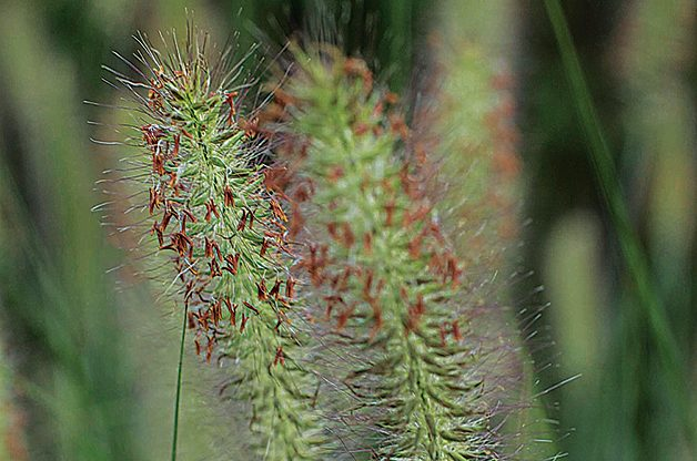 Ornamental Grass: Low Maintenance Perennial