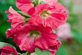 Outhouse hollyhock (Alcea rosea, Zones 3 to 8)