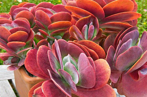 Top 10 Colorful Succulent Plants: Paddle plant