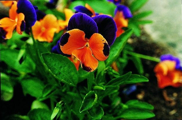 Top 10 Edible Flowering Plants: Pansy