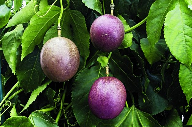 Top 10 Tropical Plants: Passion Fruit