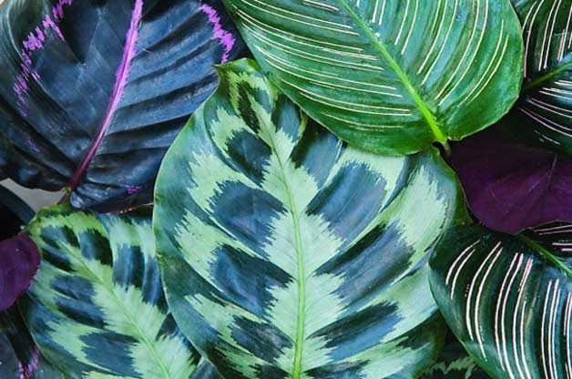 Top 10 Container Foliage Plants: Peacock plant