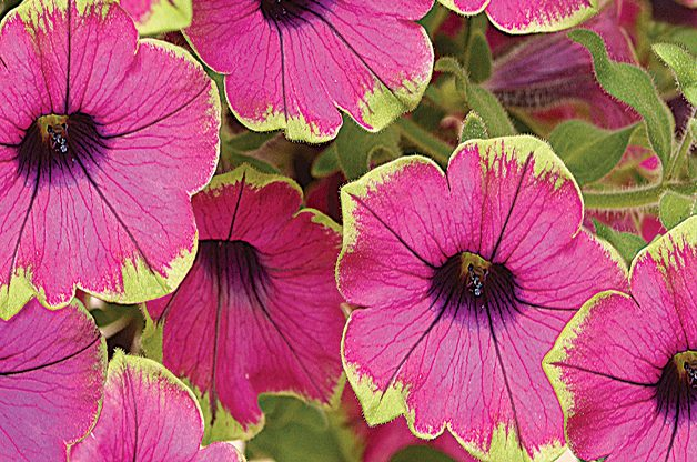 Top 10 Plants You Can't Kill: Petunia