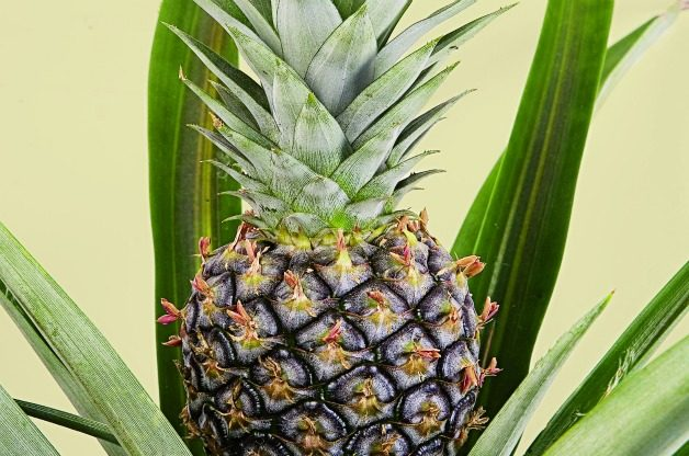 Top 10 Tropical Plants: Pineapple