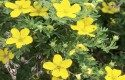 Top 10 Summer-blooming Shrubs: Potentilla