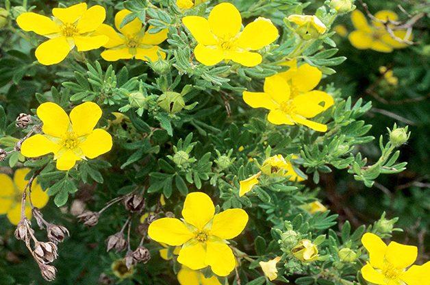 Top 10 Summer-blooming Shrubs: Potentilla