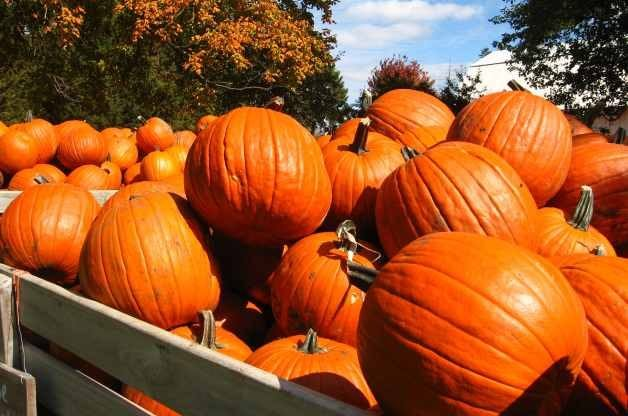Pumpkins by Goldenron5312