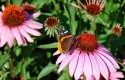 Top 10 Plants for Harvesting Seeds: Purple Coneflower