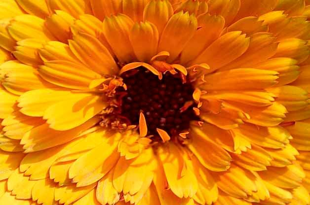 Top 10 Plants for Harvesting Seeds: Radio Calendula