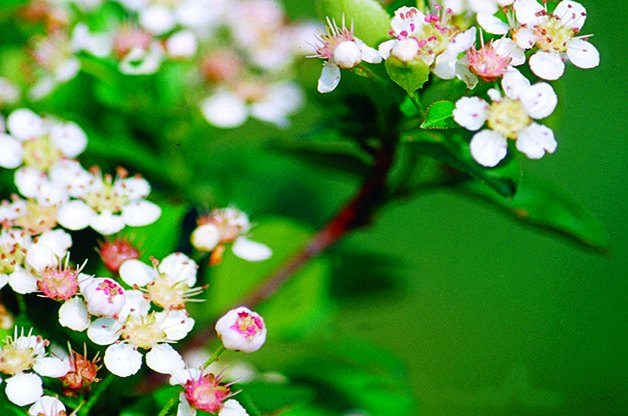 Top 10 Shrubs for Shade: Red Chokeberry