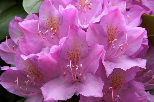 Top 10 Shrubs for Shade: Rhododendron