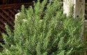 Top 10 Herbs to Grow: Rosemary