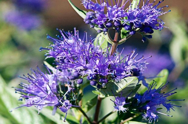 Top 10 Shrubs for Small Spaces: Sapphire surf bluebeard