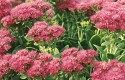 Top 10 Seed Bearing Plants: Sedum