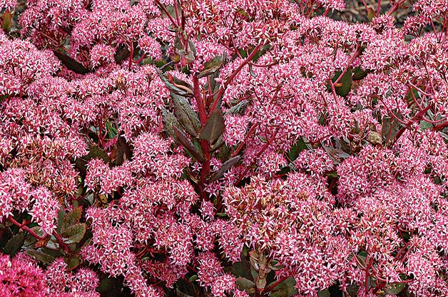 Top 10 Plants You Can't Kill: Sedum